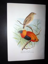 Frohawk & Butler 1899 Antique Bird Print. Orange Weaver